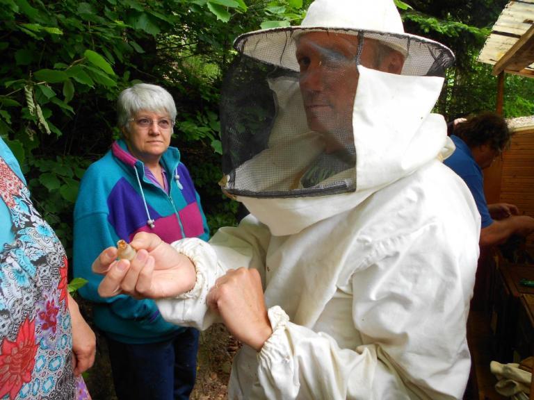 Destruction des cellules royales dans la ruche d'élevage